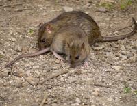 Как остров Южная Георгия объявил войну крысам и неожиданно для всех победил